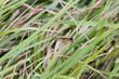 Heuschrecke in Gräsern getarnt
