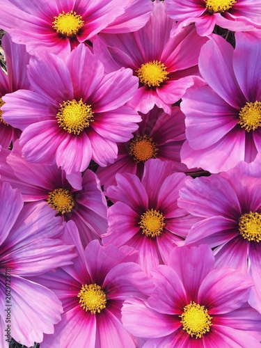 Beautiful fresh blooming pink cosmos flowers texture for background