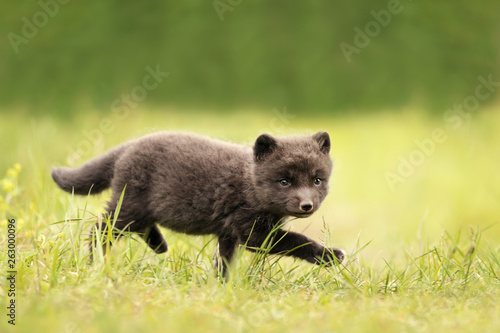 Close up of Arctic fox cub running on the grass