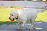 labrador retriever dog with ball