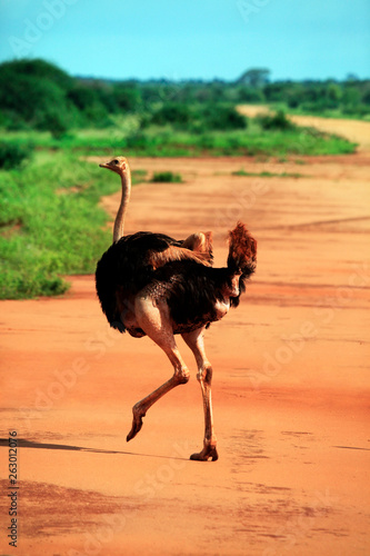 Ostrich in Tsavo East National Park