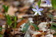 canvas print picture - Frühlingsblume im Wald