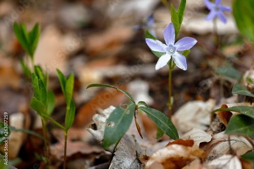 canvas print picture Frühlingsblume im Wald