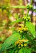 canvas print picture - Blütenpflanze Gold-Taubnessel  Gewöhniche Goldnessel Lamium galeobdolon