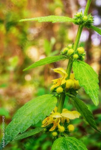 canvas print picture Blütenpflanze Gold-Taubnessel  Gewöhniche Goldnessel Lamium galeobdolon