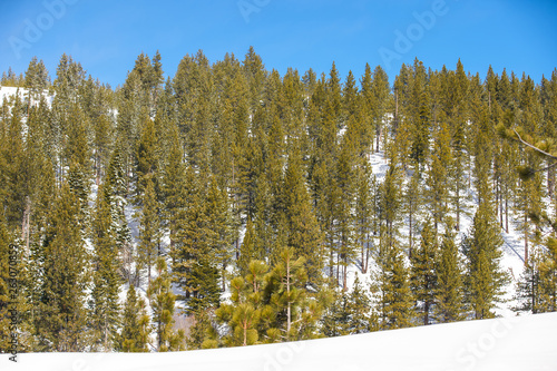 canvas print picture Forest of pine trees