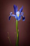 Retrato de una flor de lirio