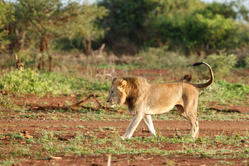 Male lion in the early morning in Zimanga Game Reserve in the Mkuze Region in Kwa Zulu Natal in South Africa