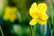 Leinwanddruck Bild - Osterglocke, gelbe Narzisse