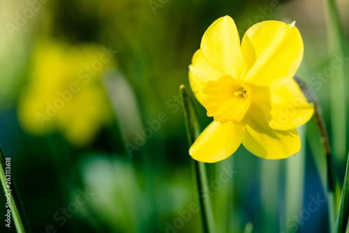 Leinwanddruck Bild Osterglocke, gelbe Narzisse