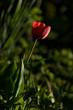 Leinwanddruck Bild - rote Tulpe