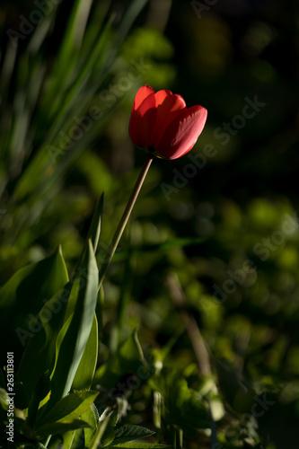 Leinwanddruck Bild rote Tulpe