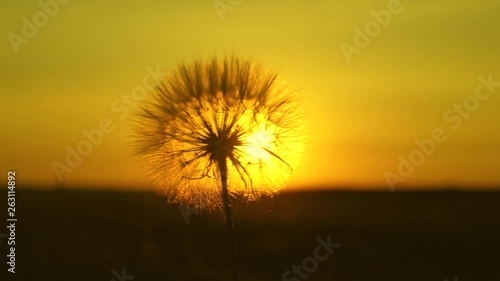 Dandelion in the field on the background of a beautiful sunset. blooming dandelion flower at sunrise. fluffy dandelion in sun.