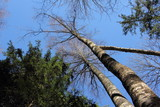Dried birch next to a green pine against the blue sky, bottom-up view