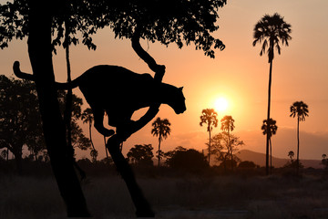 leopard silhoutted by sunset