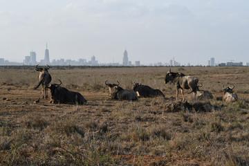 Wildebeest with Nairobi skyline in the background