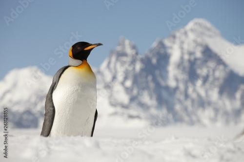 Fototapeten Pinguine King penguin on South Georgia Island