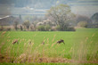 canvas print picture - Rehe hinter Gras