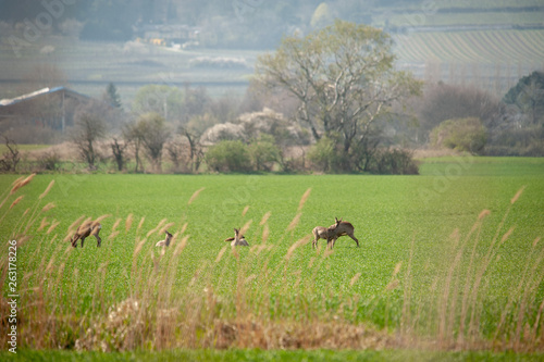 canvas print picture Rehe hinter Gras