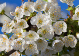 Orchard flowers bunch