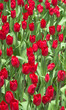 Red Tulips  / red tulips in the garden - 263265603