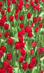 Red Tulips / red tulips in the garden