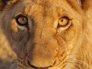 Löwen Gesicht