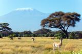 African antelope tsessebe