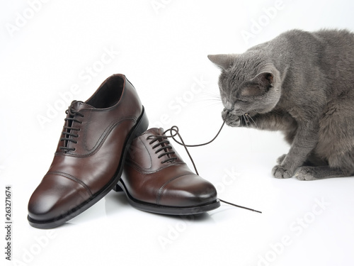 canvas print picture Gray cat plays with a classic lace men's brown Shoe on white background