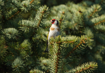 European goldfinch (Carduelis carduelis) sitting on the branch of fir tree
