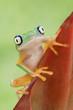 Cute Lemur Leaf Frog in Rainforest