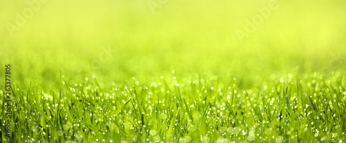 a green spring meadow with dew drops in the sunshine - 263377805