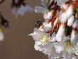 canvas print picture - Wildbienen sind auf eine reiche Auswahl an Blüten angewiesen: Hier die Kurilenkirsche