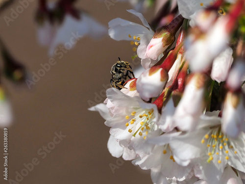 canvas print picture Wildbienen sind auf eine reiche Auswahl an Blüten angewiesen: Hier die Kurilenkirsche