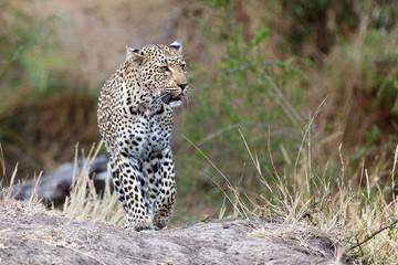 Leopard female walking  in Sabi Sands Game Reserve in the Greater Kruger Region  in South Africa