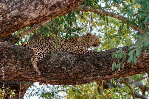 Leopard female resting in a tree  in Sabi Sands Game Reserve in the Greater Kruger Region  in South Africa