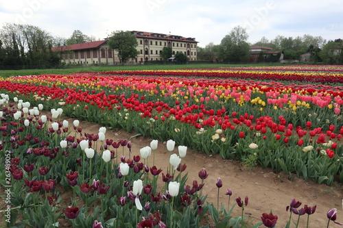 Campo di tulipani, Arese, Italia © Stemoir