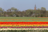 Dutch landscape with tullips and church tower