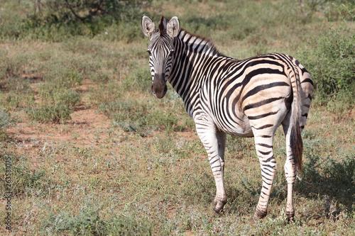 Steppenzebra / Burchell's zebra / Equus burchellii