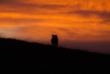 silhouette of a cow in sunset