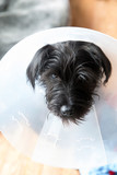 Miniature Schnauzer puppy wearing an e-collar