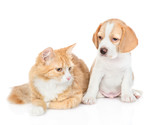 Beagle puppy and red tabby cat. isolated on white background