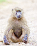Baboon sitting in the sand.