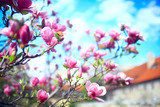 magnolia blossom spring garden / beautiful flowers, spring background pink flowers