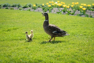 Duck with ducklings at Tuileries Garden, Paris, France