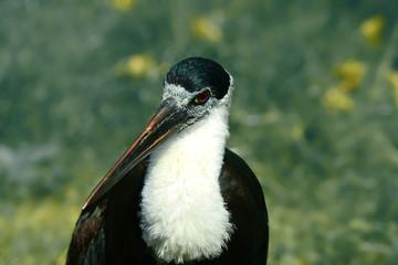 exotischer Storch