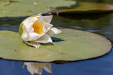 Water-lily is white. At the beginning of summer, a water lily blossoms in the quiet river basins.