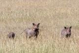 Flock with wild Warthog in the grassland