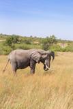 African Elephants grazing grass on the savanna