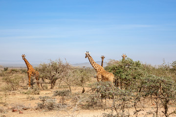 Giraffes standing and watching in the bushes © Lars Johansson